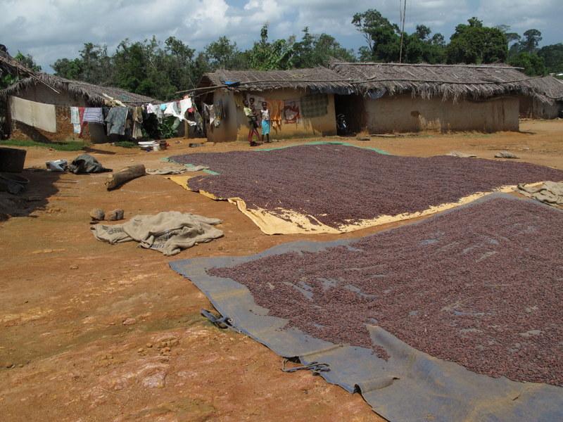 Rynek kakao na świecie - raport TDC
