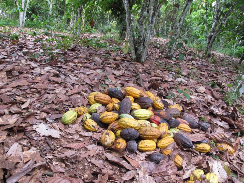 Raport TDC - rynek kakao na świecie (2018)